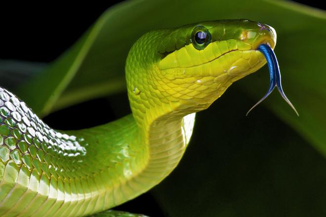 Blue viper snake