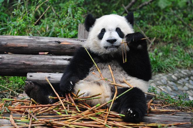 Panda  Enchanted Learning Software