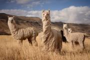 ВПеру отхолодов погибли почти 200000 альпак