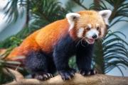 Большая ималая панды— яркий пример конвергентной эволюции