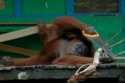 Орангутан вступил в столярный баттл с роботом: видео