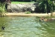 Самая смелая утка в мире троллит тигра: видео