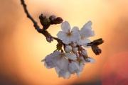 В Вашингтоне расцвела японская сакура: фото