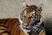 В Таиланде найдена новая популяция редких тигров