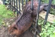 Очень упитанный бобер не смог пролезть в дыру в заборе: фото