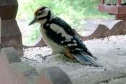 Новость о поселившемся в Битцевском лесу сирийском дятле опровергли орнитологи