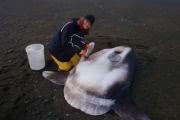 Открыт новый вид огромной рыбы-луны
