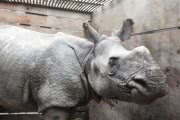 Носорог, которого унесло из Непала в Индию наводнением, спасен