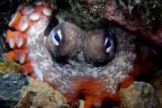 У берегов Австралии нашли город осьминогов
