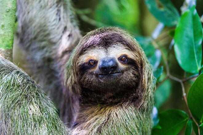 Видео: ленивец говорит «спасибо»